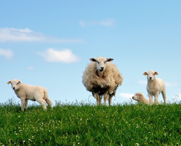 Happy lambs in meadow